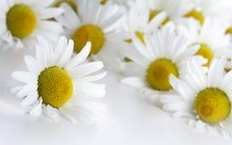 chamomiles Στοκ φωτογραφία με δικαίωμα ελεύθερης χρήσης