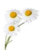 chamomiles Royalty-vrije Stock Afbeelding