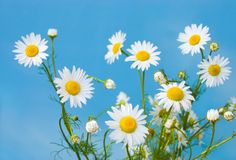 Chamomiles. On a background of the blue sky Stock Photography