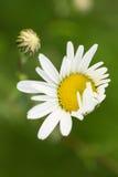 chamomiles Imagen de archivo libre de regalías
