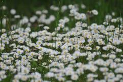chamomiles Foto de Stock