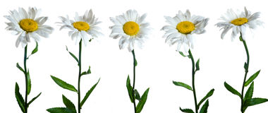 Chamomiles. Five chamomile flowers on white background Royalty Free Stock Photo
