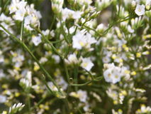 chamomiles Royaltyfria Bilder