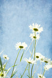 Chamomiles against blue sky. Royalty Free Stock Images