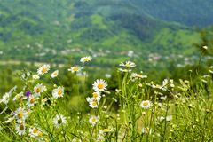 Chamomiles on the background of mountains Stock Photography
