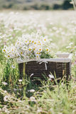Chamomiles in a basket standing in a chamomile field Stock Photo
