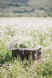 Chamomiles in a basket standing in a chamomile field Royalty Free Stock Photo
