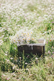 Chamomiles in a basket standing in a chamomile field Stock Image