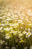 Chamomiles blooming in summer stock images