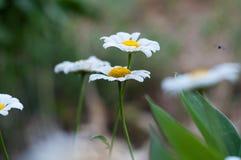 Chamomiles. Blooming wild chamomile flowers closeup stock photo