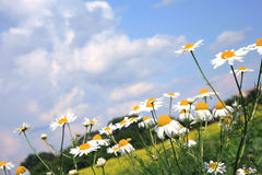 Chamomiles (camomile ) and sky. Royalty Free Stock Photography