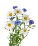 Chamomiles and cornflowers isolated without shadow Royalty Free Stock Photos
