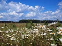 Chamomiles fields. In Novosibirsk, Russia. Summer Royalty Free Stock Photo