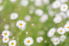 Chamomiles floral bokeh background, lens blur Stock Photo