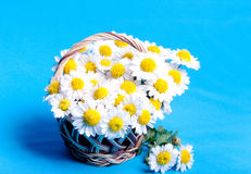 Chamomiles flowers in a basket Stock Photography