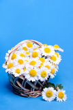 Chamomiles flowers in a basket Royalty Free Stock Images