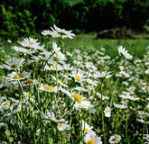 Chamomiles flowers. Daisies closeup on meadow. Flowering chamomile - floral background. White chamomiles flowers in summer season. Many chamomile flowers in Royalty Free Stock Photo