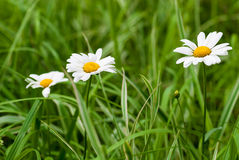 Chamomiles in grass. Three chamomiles in the grass outdoors Stock Photography