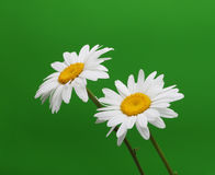 Chamomiles on green Royalty Free Stock Photo