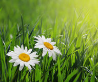 Chamomiles in green grass Stock Photos