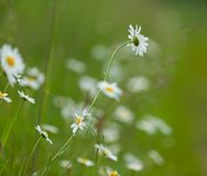 Chamomiles growing on wild meadow at summer time. Royalty Free Stock Photography