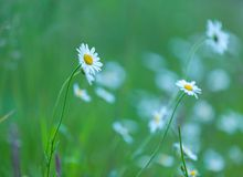 Chamomiles growing on wild meadow at summer time. Stock Image