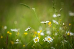Chamomiles growing on wild meadow at summer time. Stock Photos