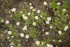Chamomiles grows on the ground at the meadow. Wildflowers Royalty Free Stock Photos