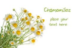 Chamomiles isolated on white background Royalty Free Stock Photos