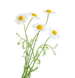 Chamomiles isolated on white background. without shadow Royalty Free Stock Images