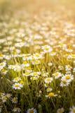 Chamomiles kwitnie w lecie obrazy stock