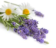 Chamomiles and lavender flowers isolated on white Royalty Free Stock Photo