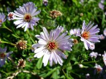 Chamomiles and lilac asters on the background of greenery royalty free stock images