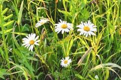 Chamomiles na zielonej trawie Fotografia Royalty Free