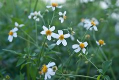 Chamomiles in the nature. Green grass and chamomiles in the nature, bright white flowers that bloom Stock Images