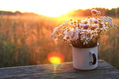 Chamomiles in the old mug, sunset with views of field. Stock Photography