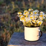 Chamomiles in the old mug, views of field Stock Photo