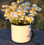 Chamomiles in the old mug, views of field Royalty Free Stock Photos