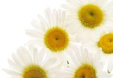 Chamomiles på vit bakgrund Royaltyfria Foton