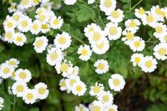 chamomiles trawy zieleni natura obrazy royalty free