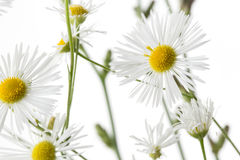 Chamomiles Royalty Free Stock Images