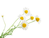Chamomiles  on white background. without shadow Royalty Free Stock Photography