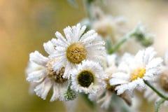 chamomilesfrost Royaltyfria Bilder