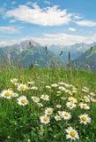 春黄菊chamomilla开花例证母菊属向量 图库摄影