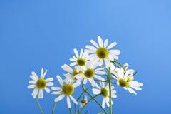 Chamomilla de Matricaria, camomille contre le ciel bleu Photographie stock