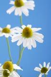 Chamomilla de Matricaria, camomille contre le ciel bleu Image stock