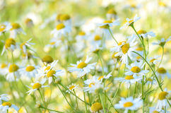 Chamomilla flowers on meadow Stock Photography