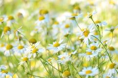 Chamomilla flowers on meadow. Matricaria chamomilla flowers on meadow, selective focus stock photography