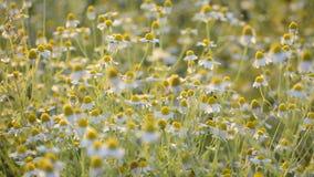 Chamomille del Matricaria en racimos aromáticos de la floración de flores de cabezas acechadas largas almacen de video