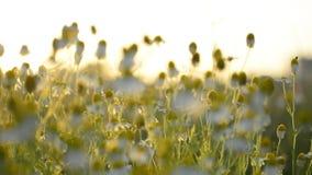 Chamomille del Matricaria en racimos aromáticos florecientes de flores de cabezas acechadas largas en luz del sol almacen de metraje de vídeo